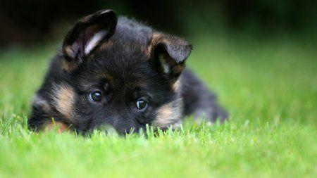 Щенячья площадка (выбор щенка ККЧС)