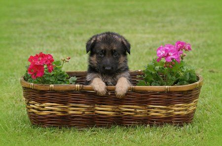 1483946360_german-shepherd-puppy-in-basket-sandy-keeton.jpg