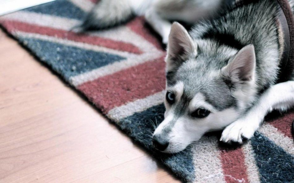1551685268_2-avatar-dog-carpet-uk-flag-mood.jpg
